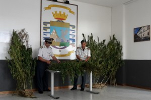 Viterbo – Sequestrate dalla Finanza 160 piante di marijuana