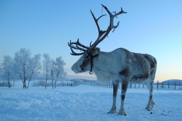 reindeer_winter